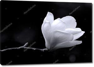 B&W изображение цветок магнолии.