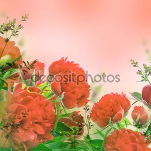 Красные пионы на розовый