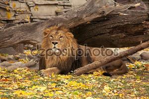полный портрет молодого азиатского льва, лежащего на осени ba