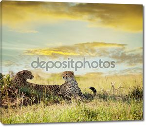 Гепард с подругой в саванне