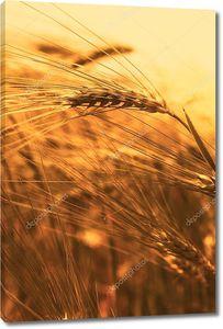 Крупным планом пшеница на закате