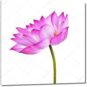 Цветок лотоса изолирован на белом фоне