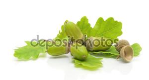 Зеленый желуди и листья дуба на белом фоне