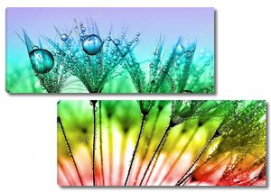 Разноцветный Одуванчик в росе