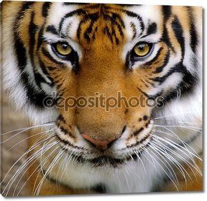 Тигры лицо.