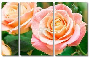 Розовые розы на зеленом фоне
