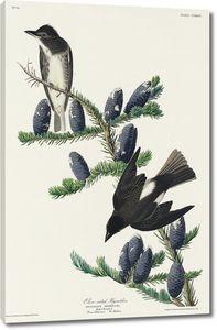 Оливковая мухоловка