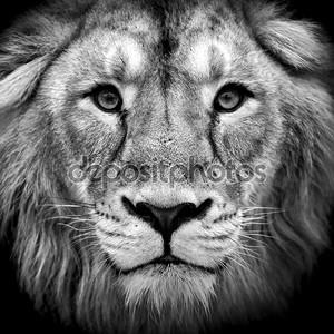 Черно-белый портрет крупным планом азиатского Льва.
