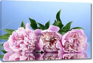 Три Розовые пионы на синем фоне