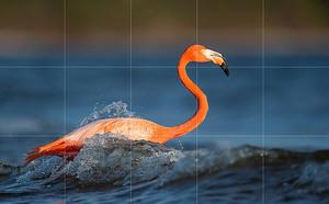 Фламинго на воде