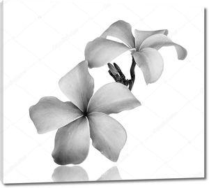 Франжипани цветок черный и белый