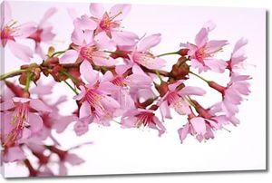 Вишни, Сакура Цветы на белом фоне