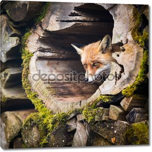рыжая лиса (vulpes vulpes)