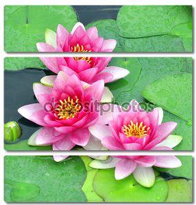 Розовые лилии воды