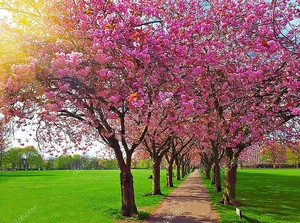 Пешком путь, в окружении цветущих деревьев сливы