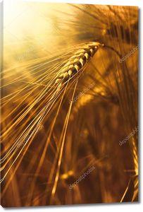 Пшеницы колосья на закате
