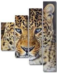 Леопард с голубыми глазами