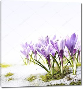 Искусство Крокус Весенние цветы в снегу оттепель
