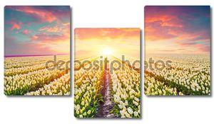Поля цветущие белые тюльпаны на рассвете