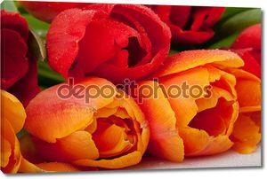 Свежие красные и оранжевые тюльпаны с каплями воды, изолированные на белом фоне
