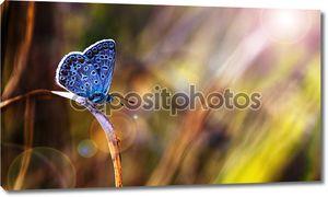 Красивая голубая бабочка в закат