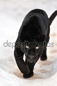 Леопард на снегу