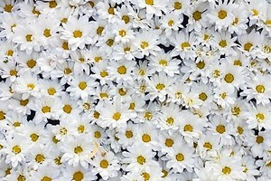 фон из белых хризантем