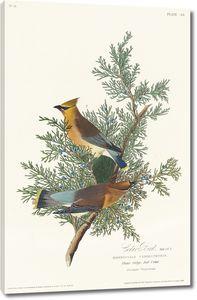 Кедровая птица