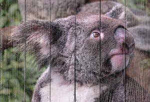 Дикая коала