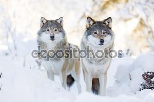 Два волка в холодный зимний лес