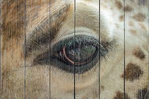 Глаз жирафа