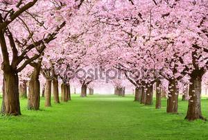 Деревья gourgeous вишня в полном цвету