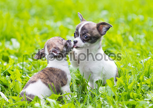Два небольших чихуахуа щенки