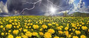 Красивые летние цветы одуванчики