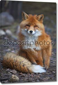 Полная длина Портрет мужчины позируют red fox в естественной среде.