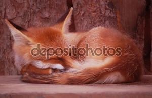 спящая лиса