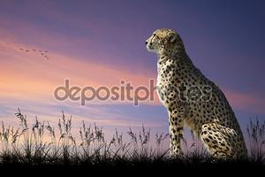 Африканское сафари понятие образ гепарда, глядя через savannn