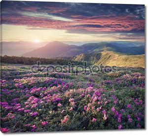 Ковер цветов розового Рододендрона