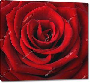 Бутон красной розы крупным планом