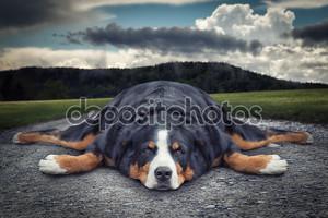 Жира ленивую собаку