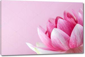 Водяная лилия, лотос на розовом фоне