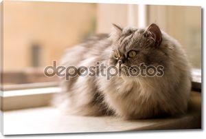 Кошка персидская на окне