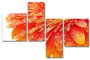 Оранжевая Гербера с росой