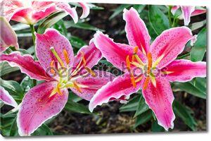 Цветок лилии Звездочет