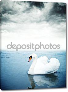 немой лебедь плавает на воде