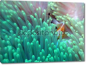 розовая рыба-клоун