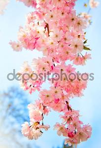 Сакура цветы цветут. Красивый розовый сакуры