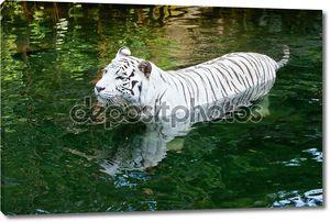 Белый тигр плавание