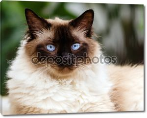 Портрет Гималайская кошка