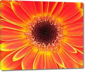 Цветок Оранжевый Гербер. Крупным планом